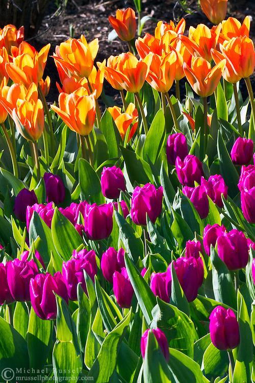 Tulip blooms at Queen Elizabeth Park in Vancouver, British Columbia, Canada
