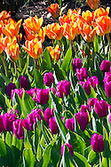 Tulip blooms at Queen Elizabeth Park in Vancouver, British Columbia, Canada
