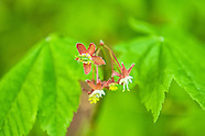 Sapindaceae (Maples and Horse Chestnuts)