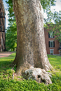 college green, Mapp Athens, summer, Tree Tour, Sycamore