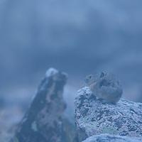 Pika on the Beartooth Plateau, Wyoming.