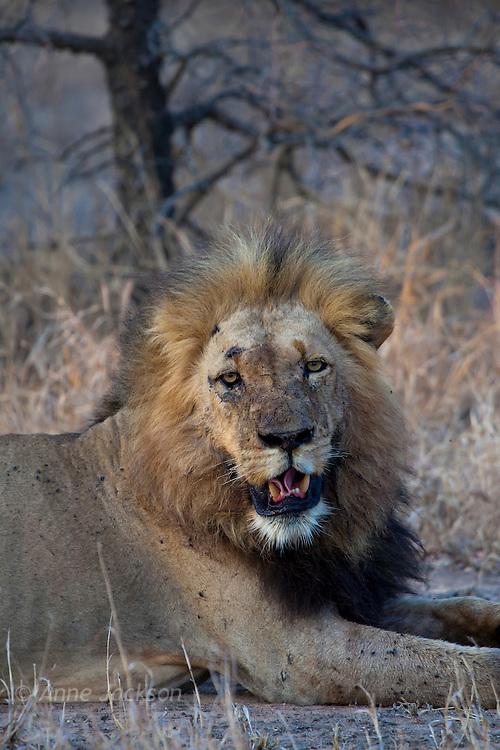Beaten up lion