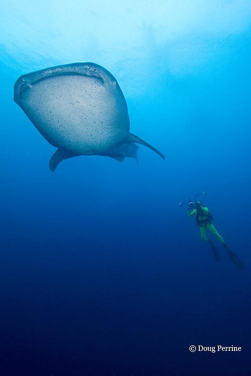 whale shark, Rhincodon typus, & photographer Douglas Seifert, Gladden Spit & Silk Cayes Marine Reserve, off Placencia, Belize, Central America ( Caribbean Sea )