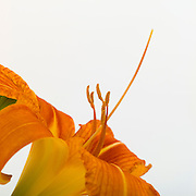 Reproductive parts of a lily in cross-section for pollentation:  stamen, pistil, ovary:  stamen, pistil