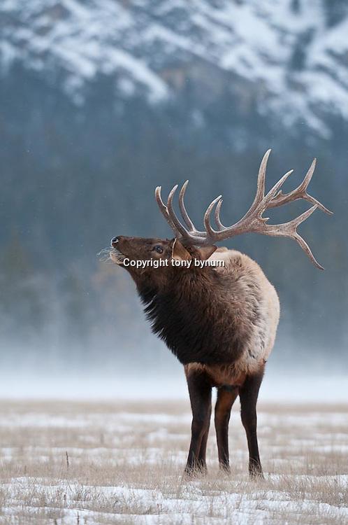 trophy bull elk head back wind blowing snow in background, winter habitat