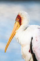 Yellow-Billed Stork, Lake Nakuru National Park, Kenya