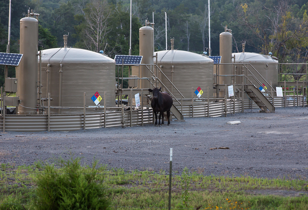 Cattle sharing a space with a fracking industry site in Republican, Arkansas in Faulkner County which sits on top of the Fayetteville Shale