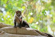 White-nosed coati (Nasua narica). Tropical dry forest, Palo Verde National Park, Guanacaste, Costa Rica.