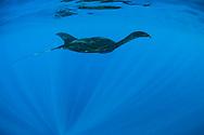 Giant oceanic manta ray - Raie manta océanique (Manta birostris), Yucatan peninsula, Mexico.