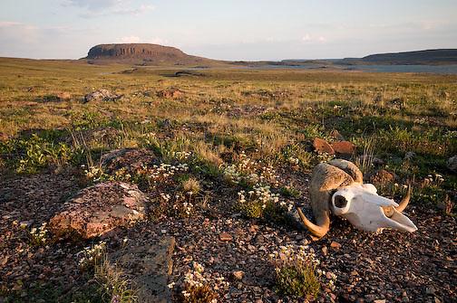 Muskox skull on the tundra near Elu Inlet, Mount Elu in the background. Nunavut, Canada