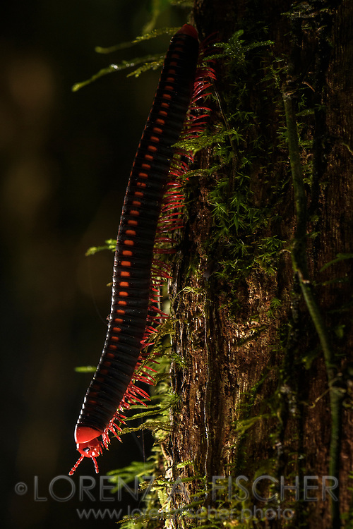 Tausendf&uuml;sser der Gattung Aphistogoniulus, Ranomafana, Madagaskar<br /> <br /> Millipede of the genus Aphistogoniulus, Ranomafana, Madagascar