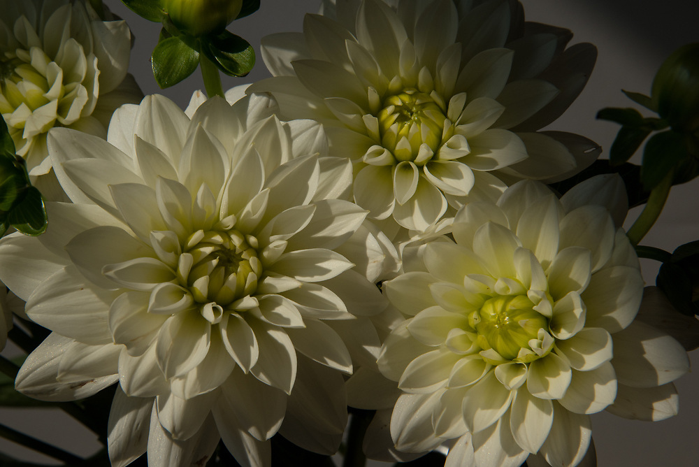 Beautiful white dahlia flowers. Santa Monica, CA 9.26.17