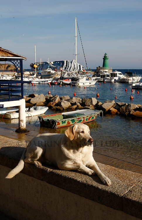 A labrador dog sits on a wall in the harbour near the cruise liner Costa Concordia off the west coast of Italy at Giglio island January 30, 2012. Search operations at the Costa Concordia resumed on Monday after being suspended for a day due to weather conditions and some movement of the capsized cruise ship...REUTERS/Darrin Zammit Lupi (ITALY)