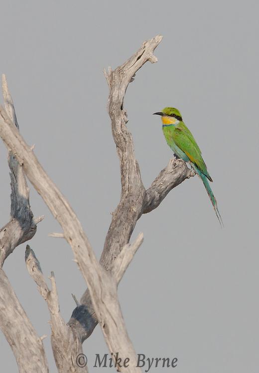 Swallow-tailed bee-eater in Etosha, Namibia.