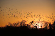 flock of birds taking off at sunset along the Mississippi River Valley near .Memphis, Tennessee