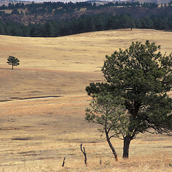 Ponderosa pines on the mixed-grass prairie of South Dakota's Wind Cave National Park.