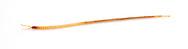 Soil Centipedes (Geophilomorpha)<br /> TEXAS: Bandera Co.<br /> Bandera Ecolab of TX 16; Medina, N of 11.6 km<br /> 26-Jan-2013 29.90077 -99.25809<br /> J.C. Abbott #2635 &amp; K.K. Abbott