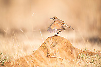 Rufous Naped Lark displaying, Pilanesberg National Park, North West, South Africa
