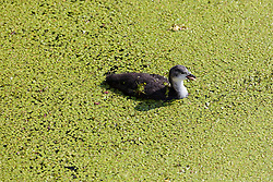 © Licensed to London News Pictures. 01/07/2018. London, UK.  A young coot swims through duck weed in Limehouse Basin in east London which has turned green following the rapid growth of duck weed which has grown so fast because of the ideal combination of heat in agitated but slow-moving water. Photo credit: Vickie Flores/LNP