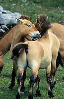 Przewalski's horse (equus przewalski) mutual grooming, Cevennes National Park, , Lozere, France - Part of breeding herd to re-establish the horse to Mongolia Photo: Peter Llewellyn