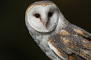 Common barn owl at the Center for Birds of Prey November 15, 2015 in Awendaw, SC.