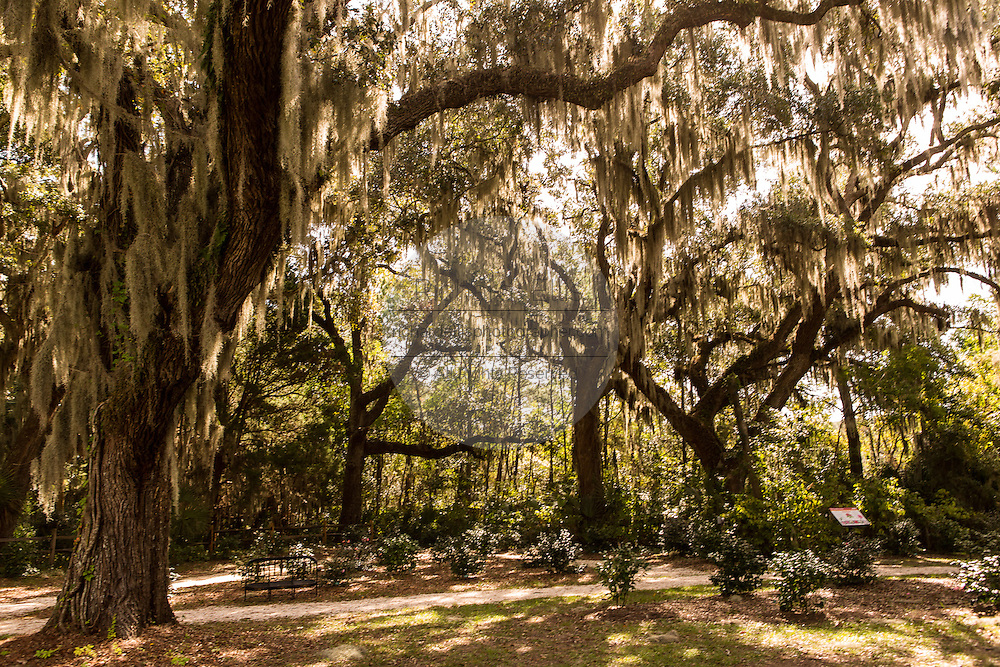 Majestic live oak trees with spanish moss at Honey Horn Plantation on Hilton Head Island, SC