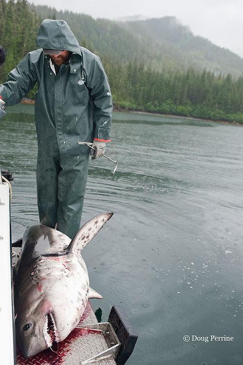 fishing guide and dead salmon shark, Lamna ditropis, Prince William Sound, Alaska, U.S.A.