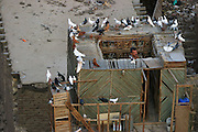 Raising pigeons on the roof of a Cairo, Egypt apartment building in the city of the dead.