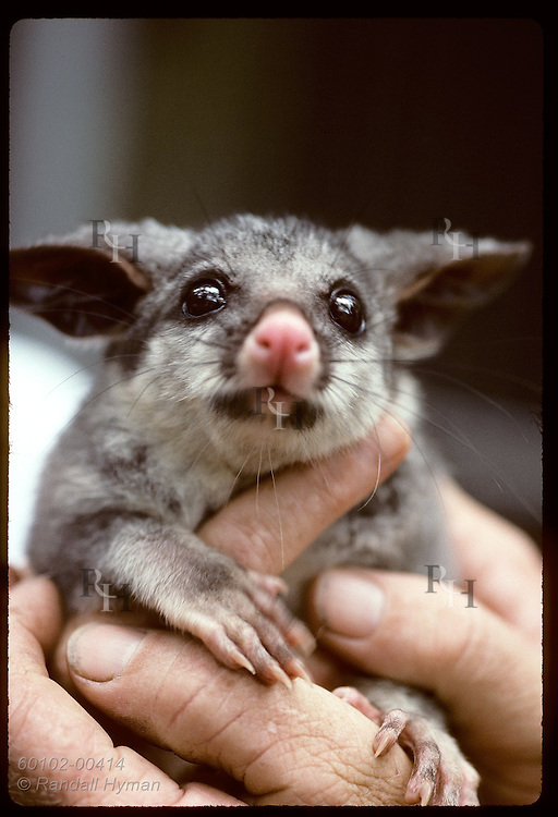Caretaker's hands snugly hold seven-month-old brush-tail possum @ Eprapah rehab center; Brisbane Australia