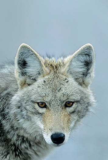 Coyote (Canis latrans) portrait of adult. Yellowstone Natioinal Park.