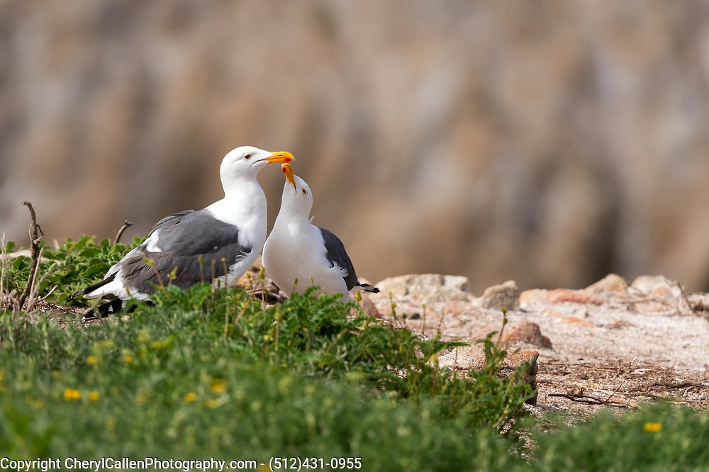 California Gull courtship