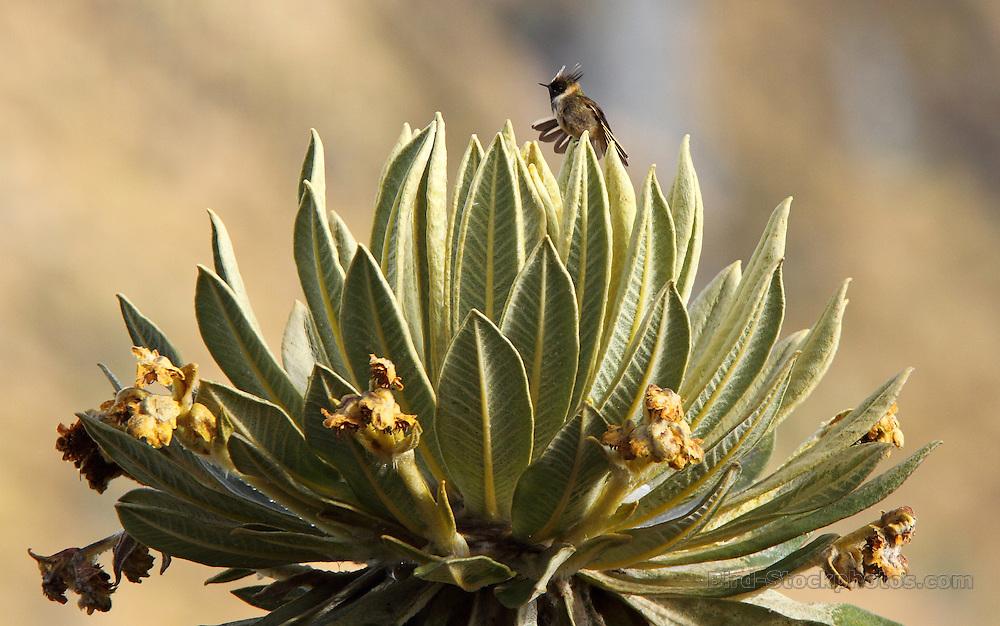 Bearded Helmetcrest, Oxypogon guerinii, on shrub, Los Nevados, Colombia, by Adam Riley