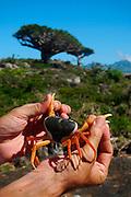 Haghier Mountains - Socotran freshwater crab (Socotrapotamon socotrensis)