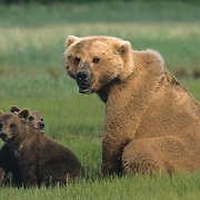 Alaskan Brown Bear, (Ursus middendorffi) Mother sitting with young cubs. Katmai National Park. Alaska.