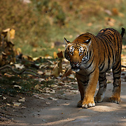 Paaro's Cub, Prince photographed in Corbett