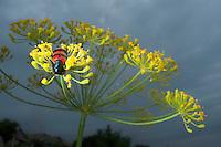 Blister Beetle (Mylabris pustulata). near lake Belau, south Moldova