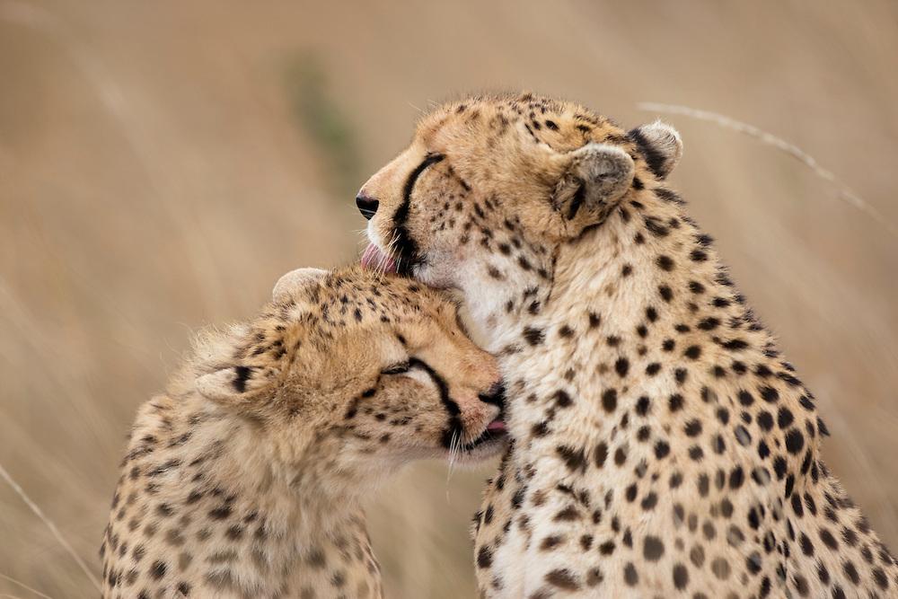 Africa, Kenya, Masai Mara Game Reserve, Two Cheetahs (Acinonyx jubatas) grooming each other in tall grass on savanna