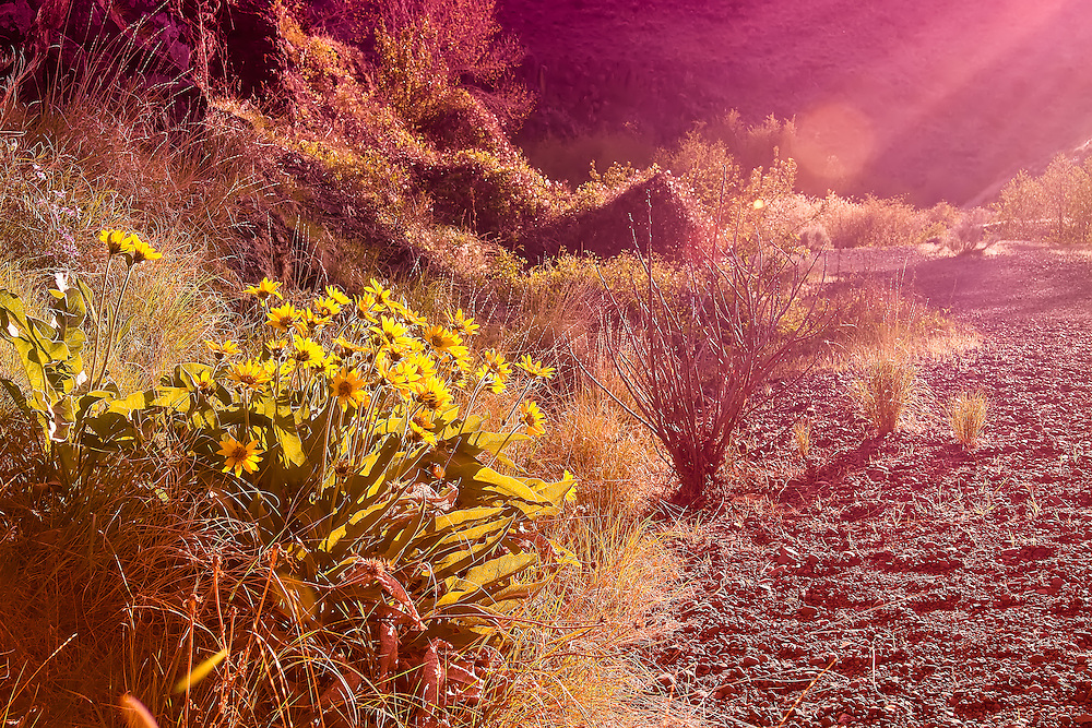 Sunset is almost always a dramatic show of light and shadow, as witnessed here in Cowiche Canyon, just west of Yakima, WA. Strong beams of sunlight beautifully backlit these desert wildflowers (Carey's balsamroot).