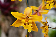 Bright yellow orchid blooming, with dark red and blushing orange details