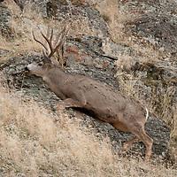 mule deer buck traveling profile side vew