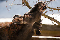 JEROME A. POLLOS/Press...A bull-moose calf snacks on some low-hanging branches Friday in a backyard in Post Falls. The calf and a cow have been taking up residence in the neighborhood since Monday foraging through gardens and trees.