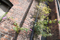 Buddleia embedded into the brick work of a derelict building in Bootle; Liverpool; England,
