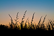 Flax at sunset, New Zealand