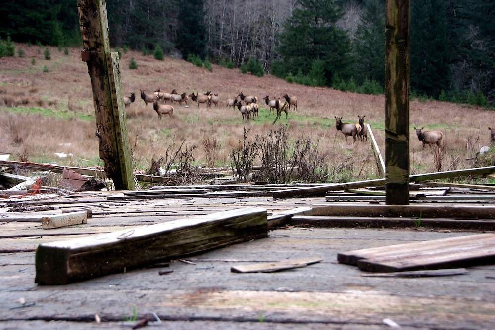 Elk Through Old Barn Alpha Farm Deadwood Oregon