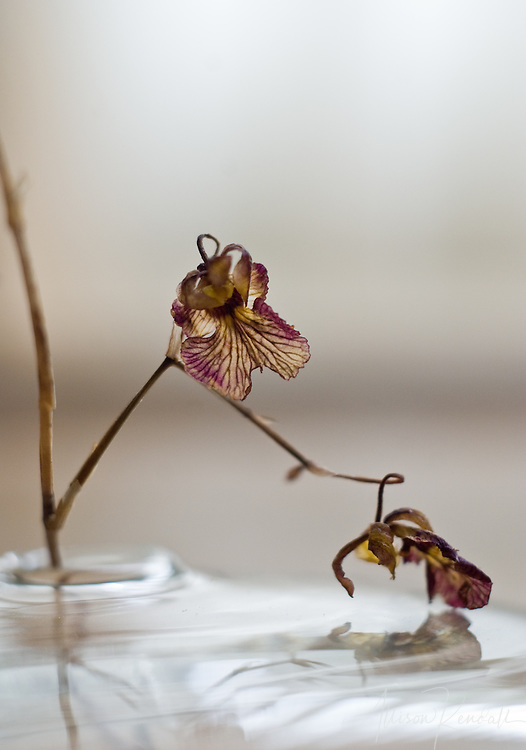A pair of tiny orchid flowers form delicate shapes as their colors fade