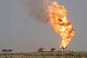 One of several hundred camels grazing in the Rumeilah Oil Field of Southern Iraq walks in front of a burning oil well being fought by the Kuwaiti Wild Well Killers, a division of the Kuwait Oil Company. The Rumeilah field is one of Iraq's biggest oil fields with five billion barrels in reserve. (Supporting image from the project Hungry Planet: What the World Eats.)