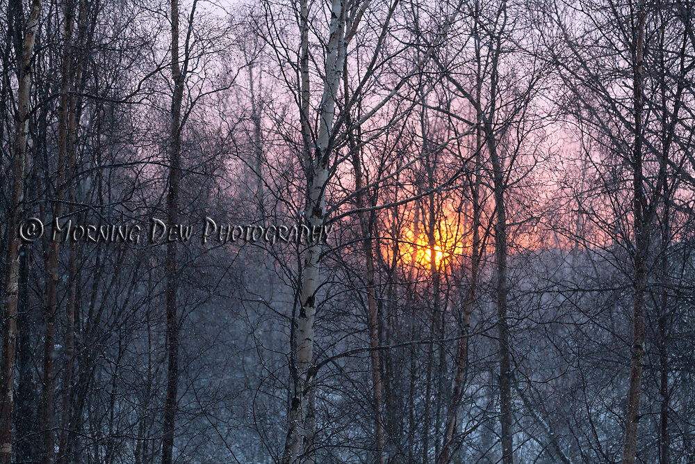 The setting sun paints the winter sky pink behind a stand of birch trees.