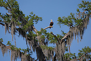 Bald Eagle In a  bald cypress tree in Lake Verret, Lousiana
