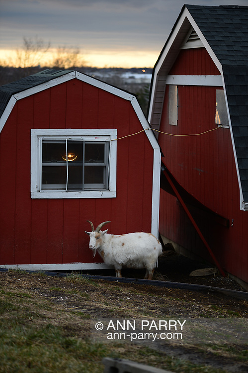 Merrick, New York, USA. January 20, 2019.  Nigerian Dwarf goats eat evergreen branches near their red barn during dusk in winter at Norman J. Levy Park and Preserve on south shore marshland of Long Island. Temperatures were rapidly dropping from the 30's fahrenheit and were predicted to go down to frigid teens that night.