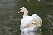 Mute Swan,  River Windrush,  Burford, UK. Feral birds may be at risk from Avian Flu bird flu virus